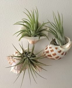 Seashell Air plant magnet set 7