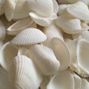 White Arc Seashells 2