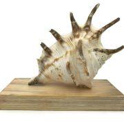 Lambis Lambis Seashell Statue 12